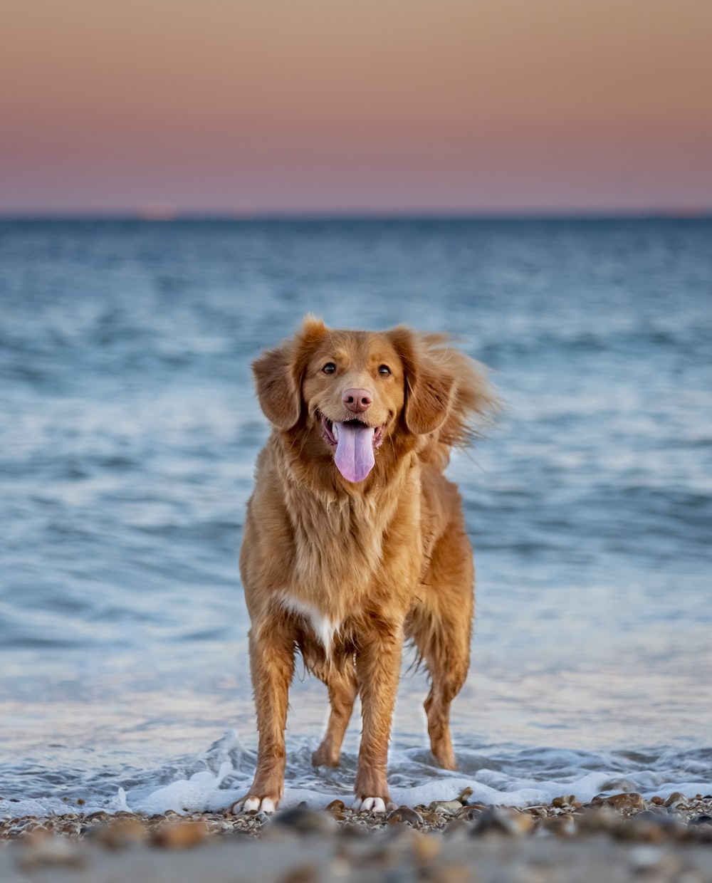 golden retriever sitting on seashore during daytime