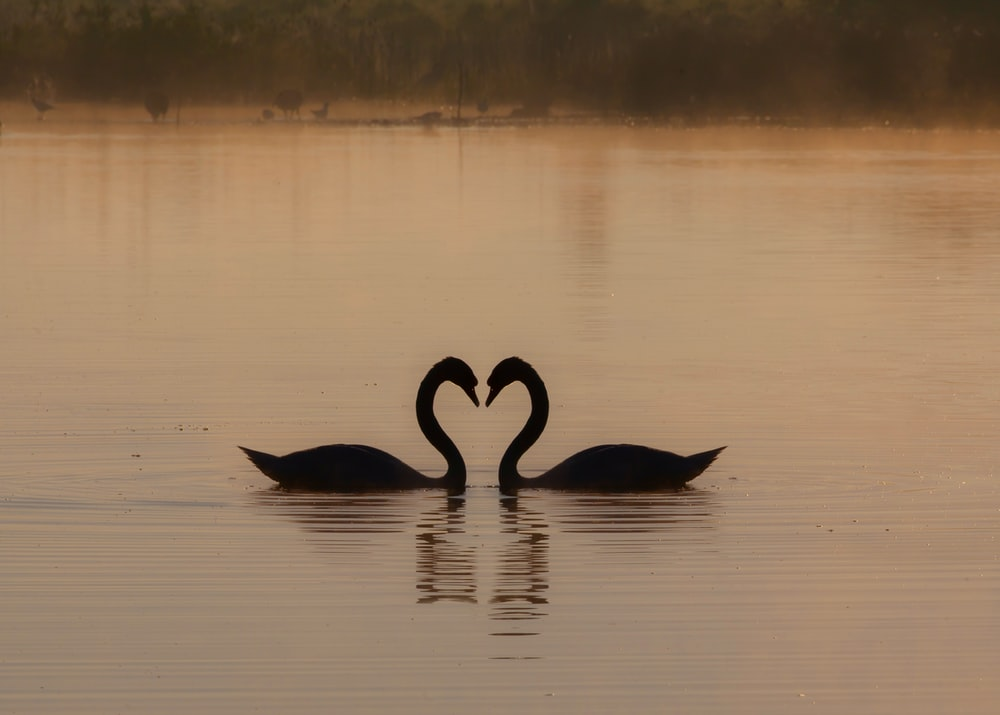 black swan on water during daytime