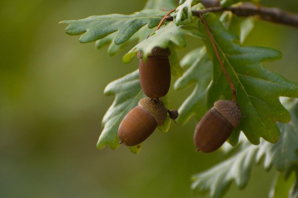brown fruit on green leaf
