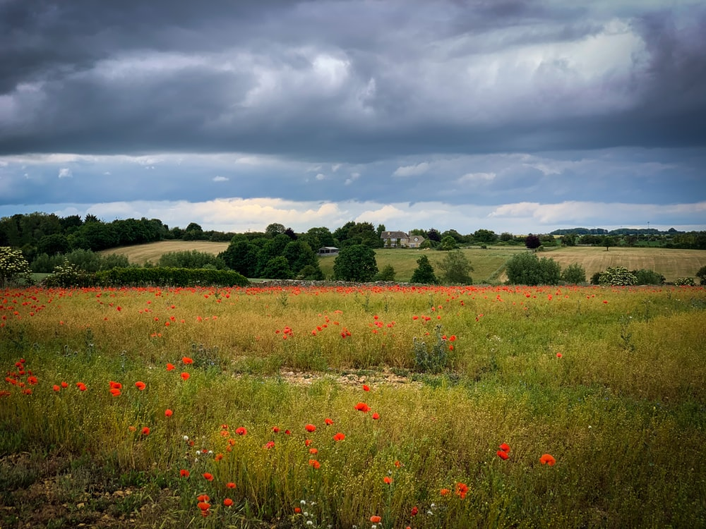 red flower field under cloudy sky during daytime