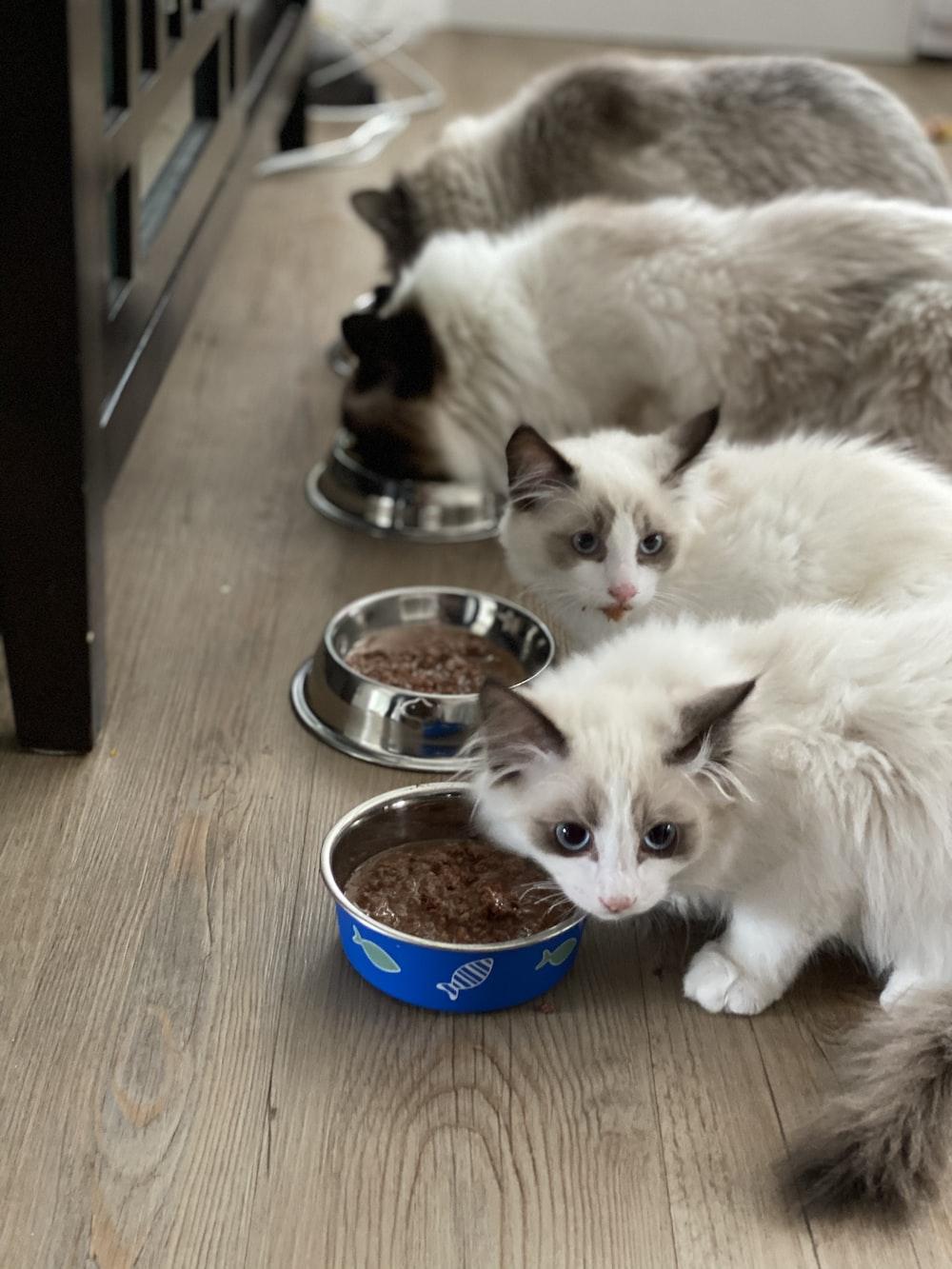 white cat beside blue ceramic bowl