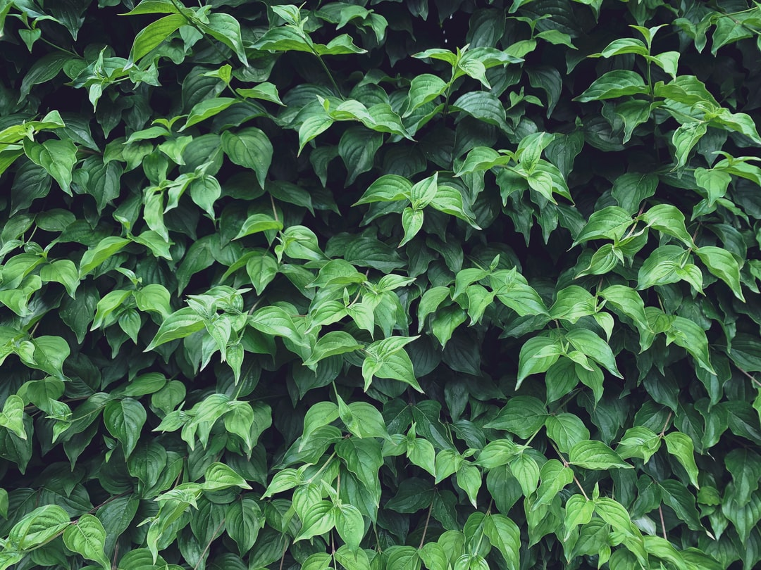 Continuous green background of lush green leaves, foliage
