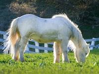 stallions