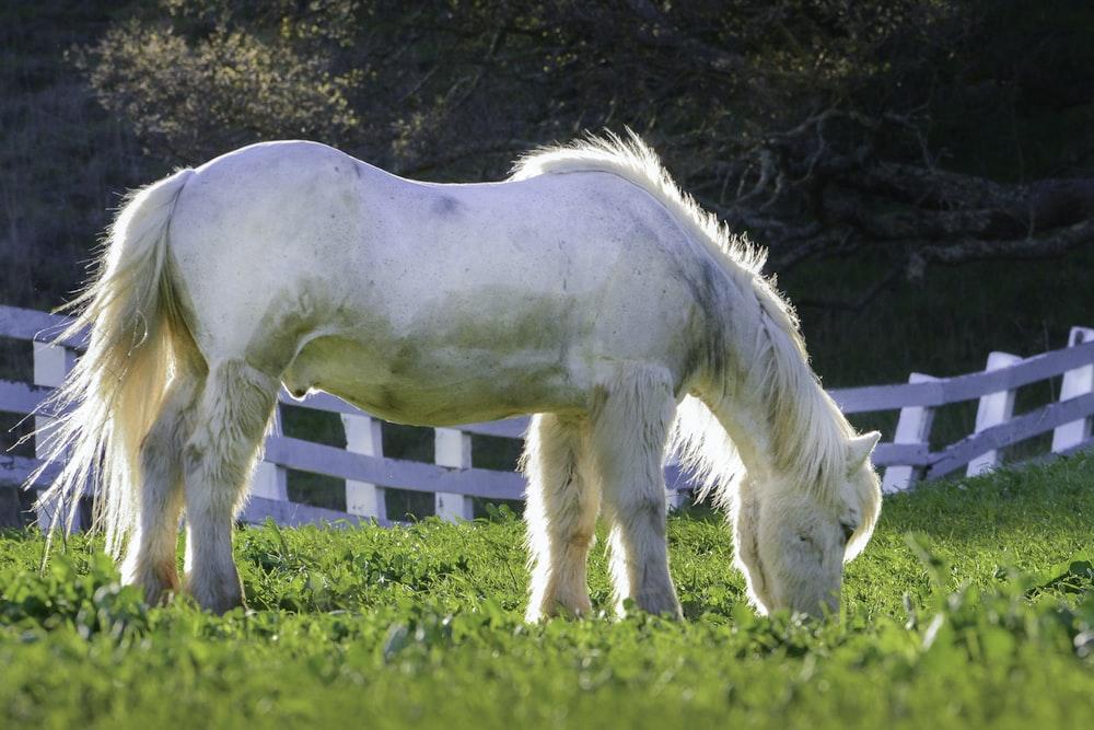 white horse eating grass during daytime