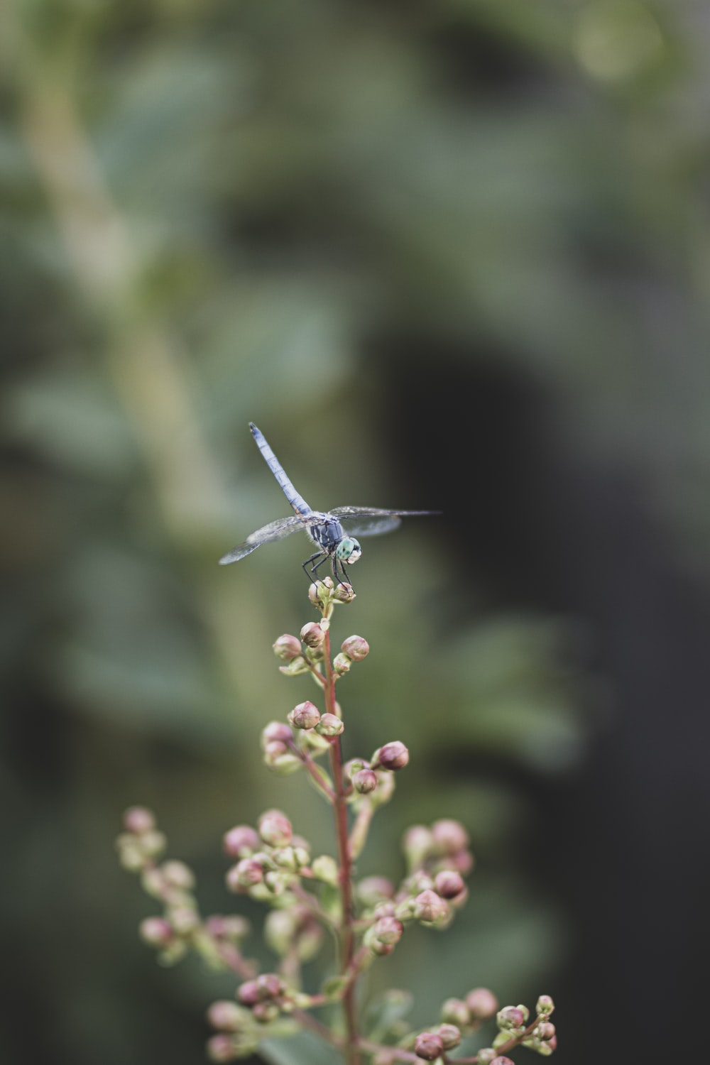 blue and white dragonfly perched on pink flower buds in tilt shift lens