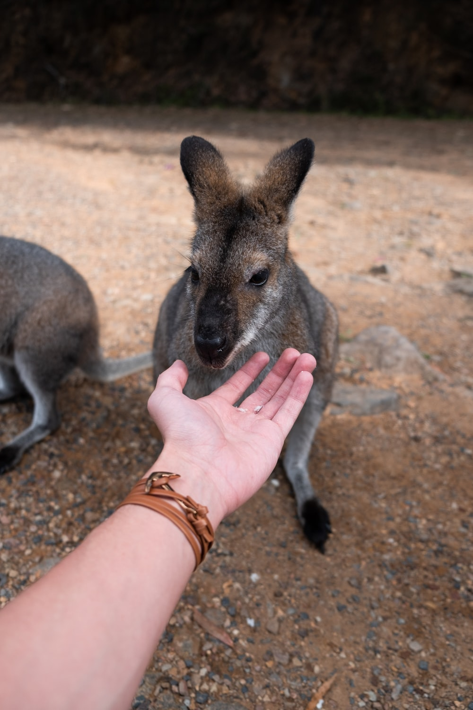 brown kangaroo on brown sand during daytime