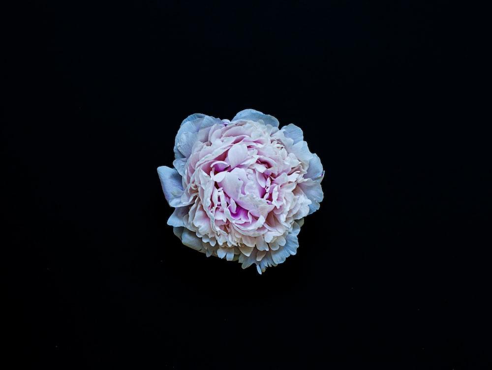 pink rose in black background