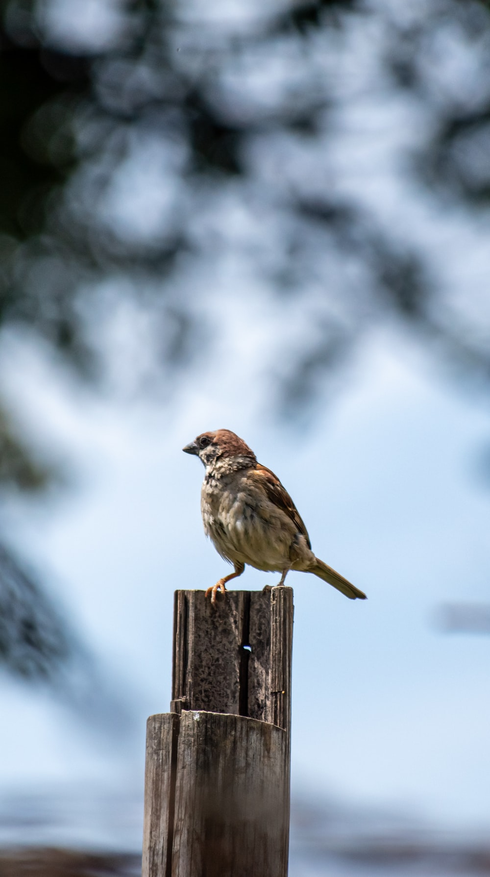 brown sparrow perched on brown wooden fence