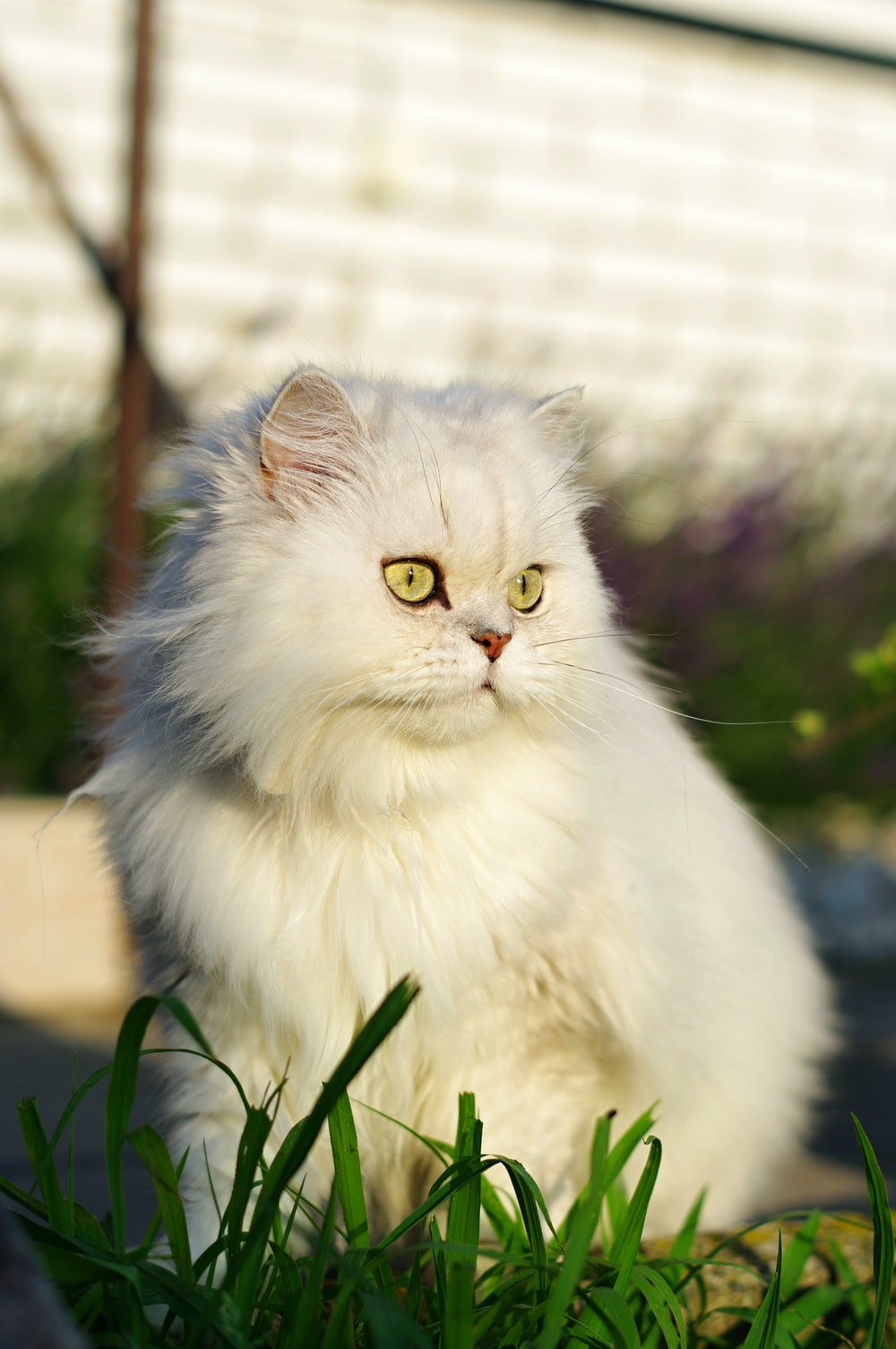 white persian cat on green grass during daytime