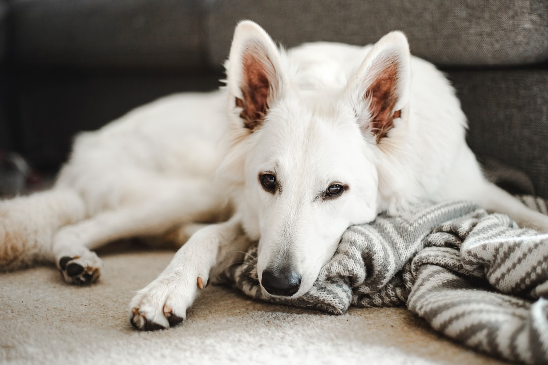 Our White Swiss Shepherd - Arwen - chilling on a rainy day.