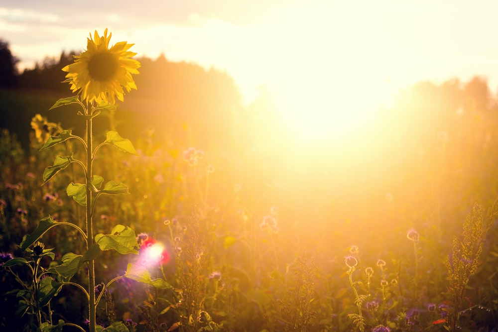 yellow flower field during sunset
