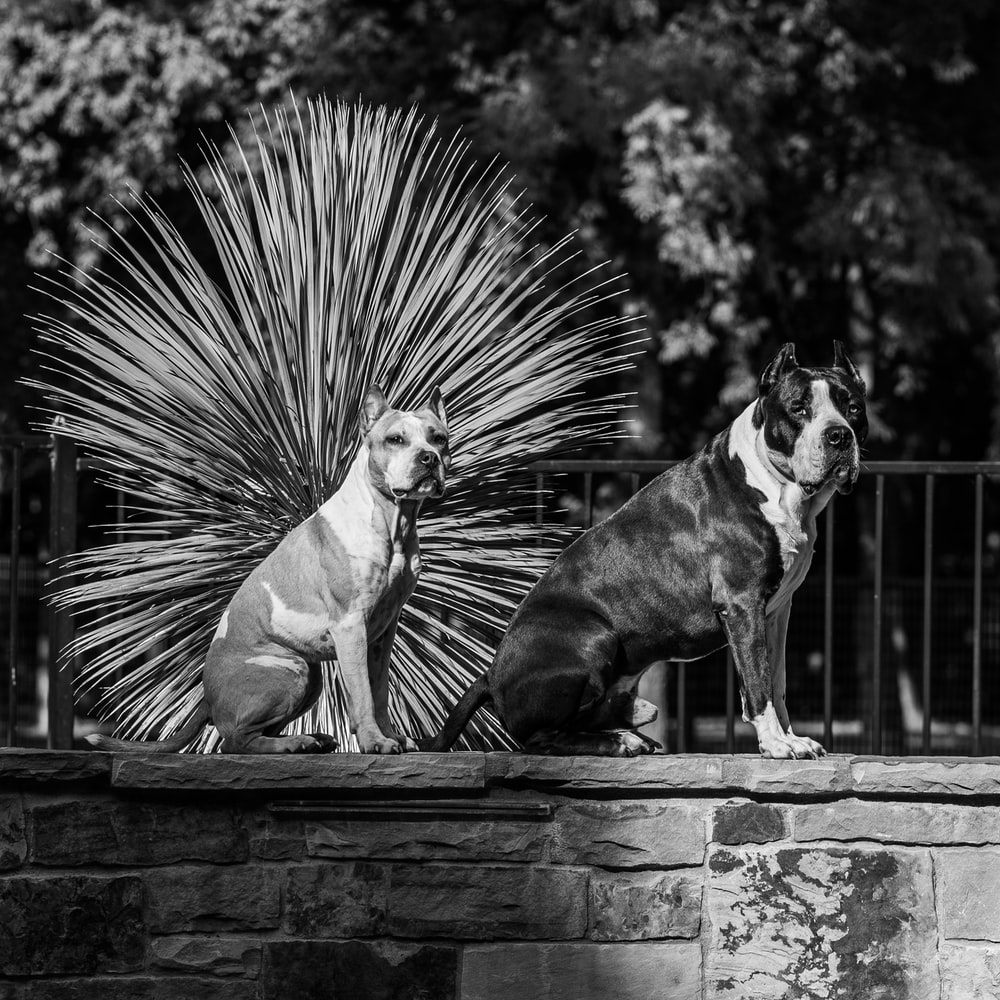 grayscale photography of short coated dog on wooden bench