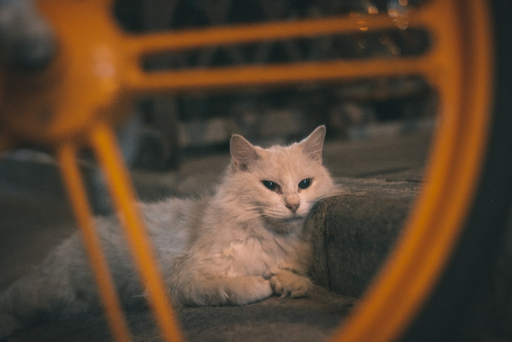 white cat on brown wooden chair
