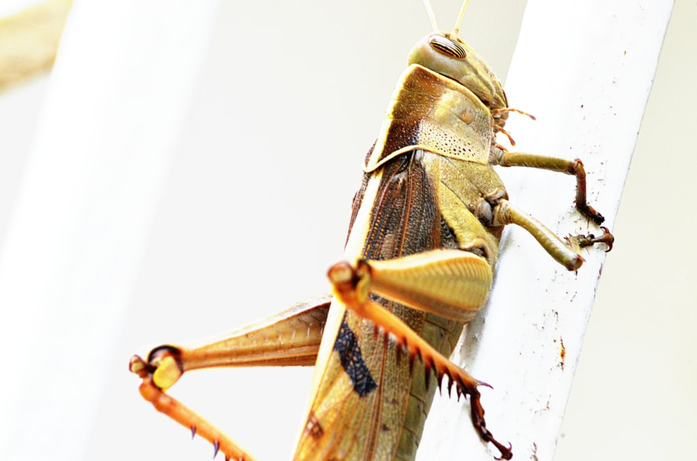 brown grasshopper on white wall