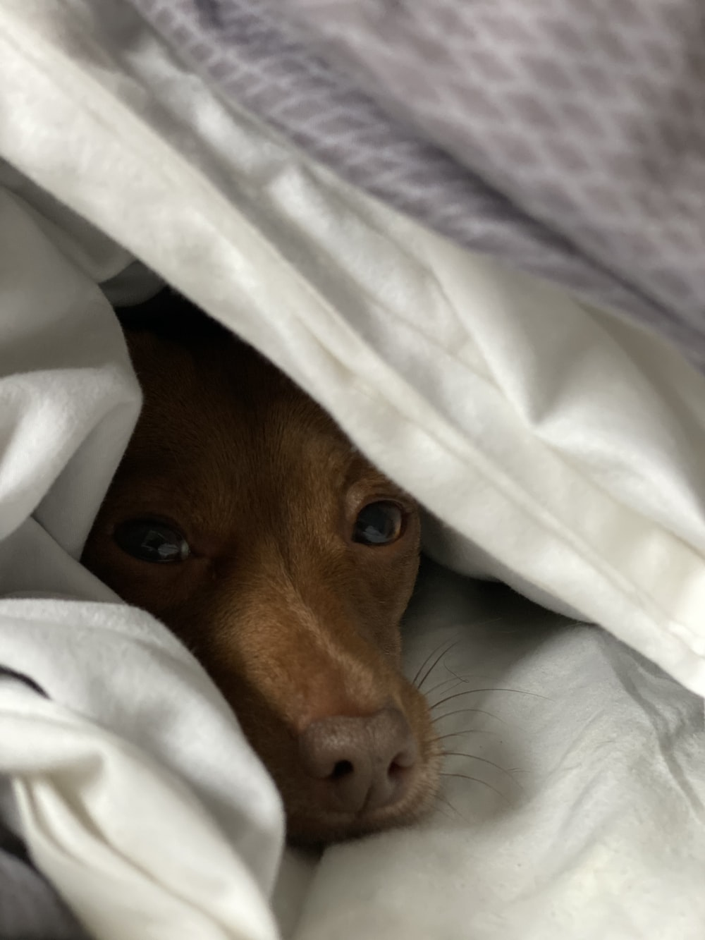 brown short coated dog lying on white textile