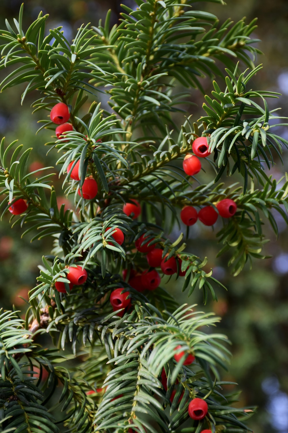 red round fruit on green tree