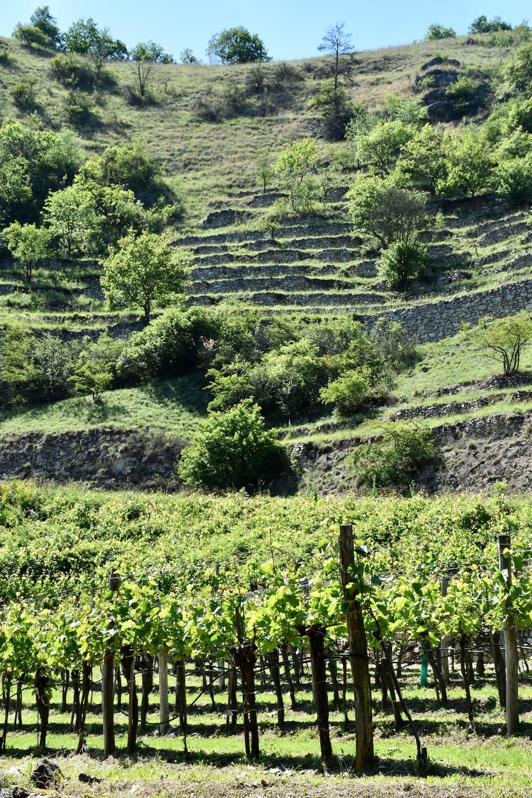 Old style steep vineyards in the Wachau north of Vienna,