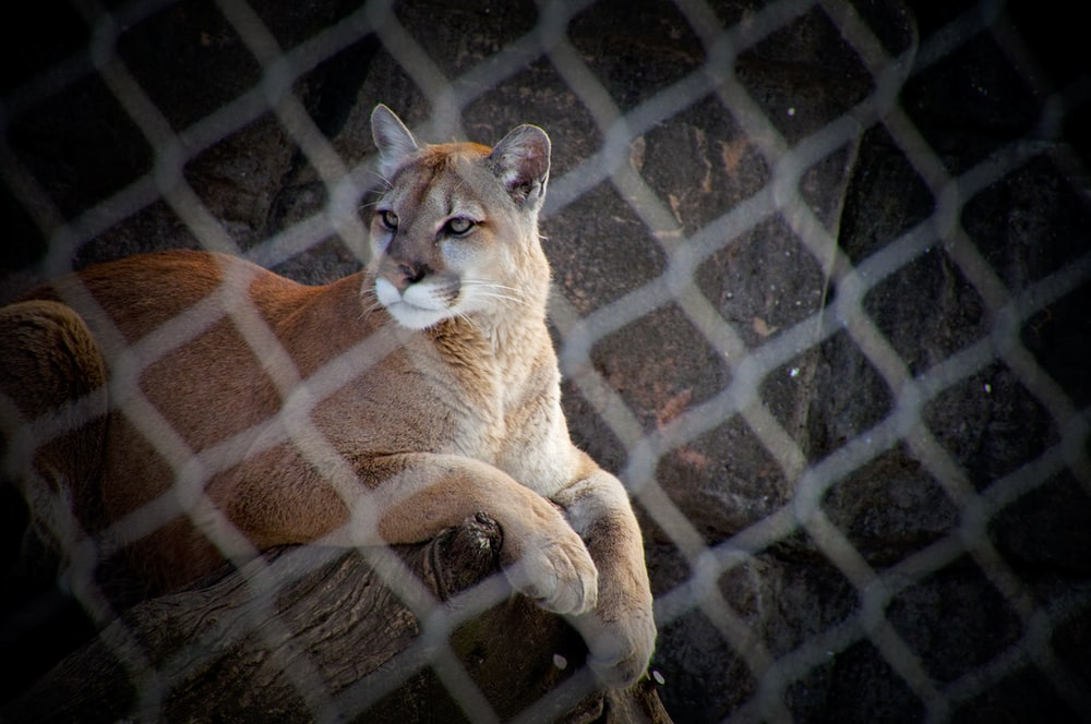 brown and white lioness on brown metal cage