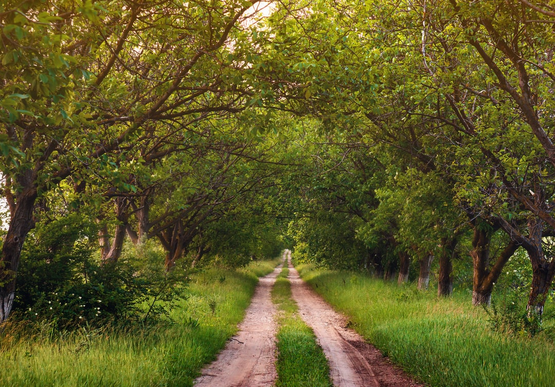 Walnut trees along an old road in abandoned vineyard