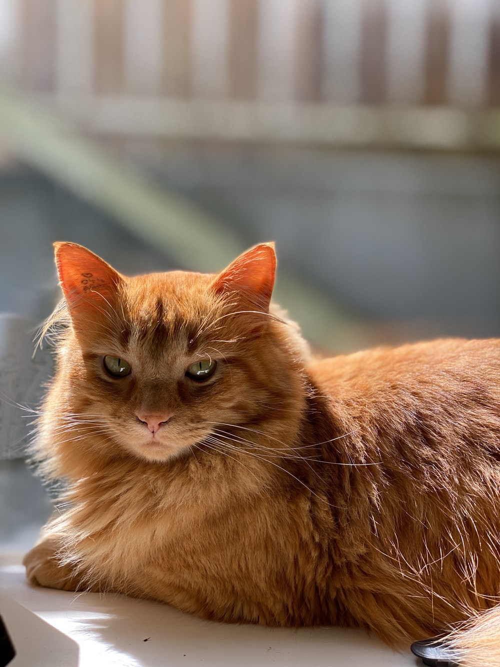 orange tabby cat on white table
