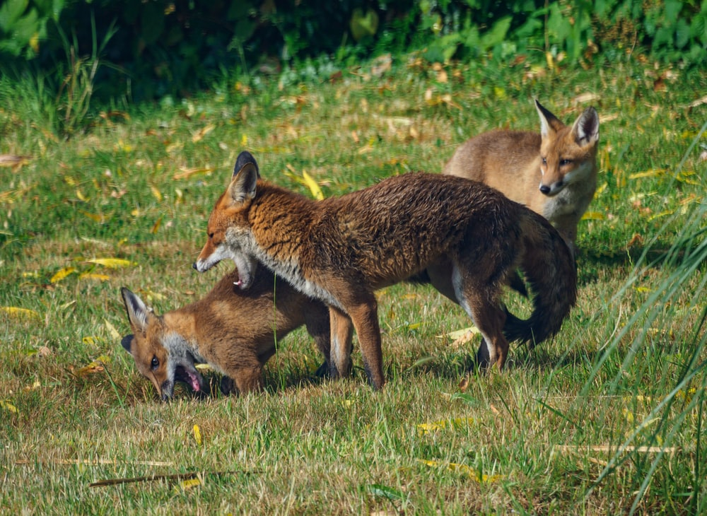 brown and black fox on green grass during daytime