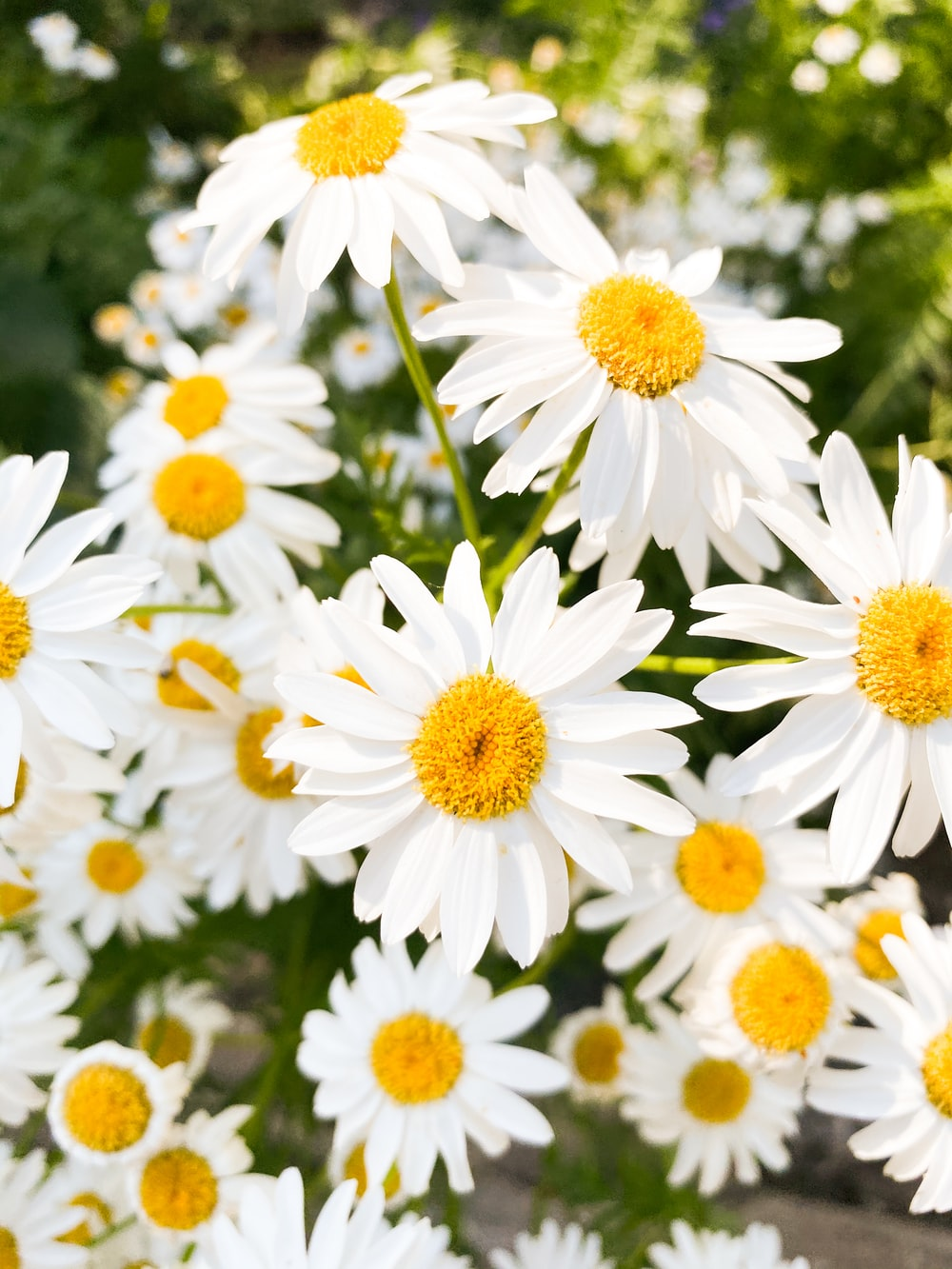 white daisies in bloom during daytime