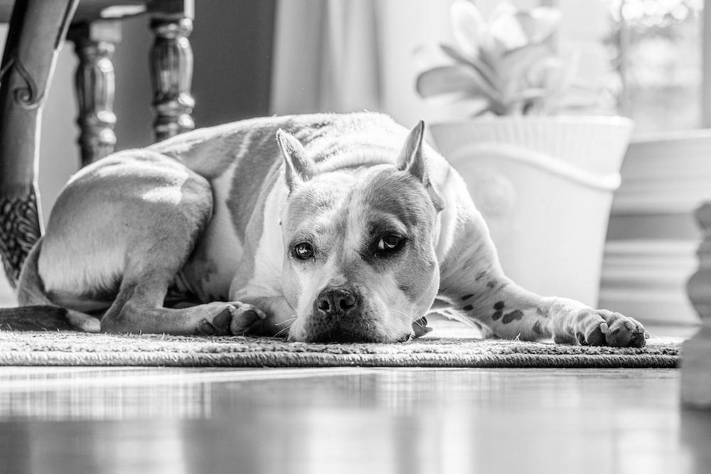 grayscale photo of short coated dog lying on floor