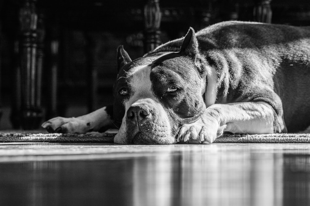 grayscale photography of short coated dog lying on floor