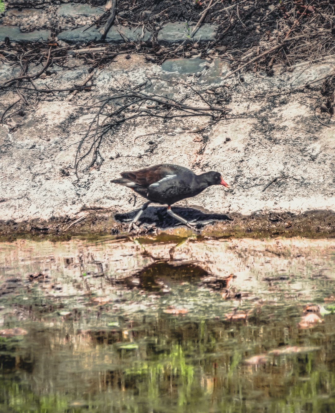 A moorhen walks along the banks of the Conn's Water at Victoria Park (May, 2020).