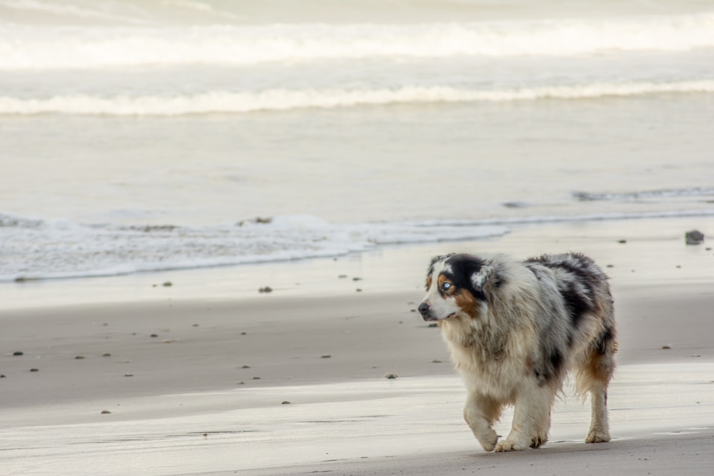 black and white long coat small dog on beach during daytime