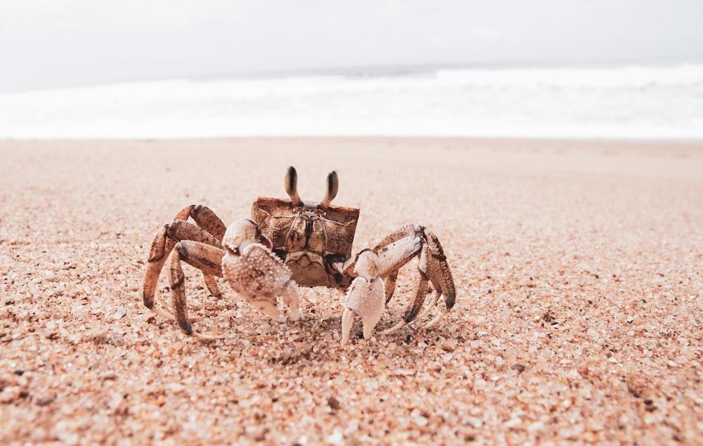 brown crab on brown sand during daytime