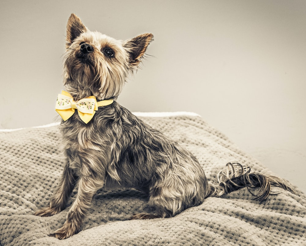 black and brown yorkshire terrier on white textile