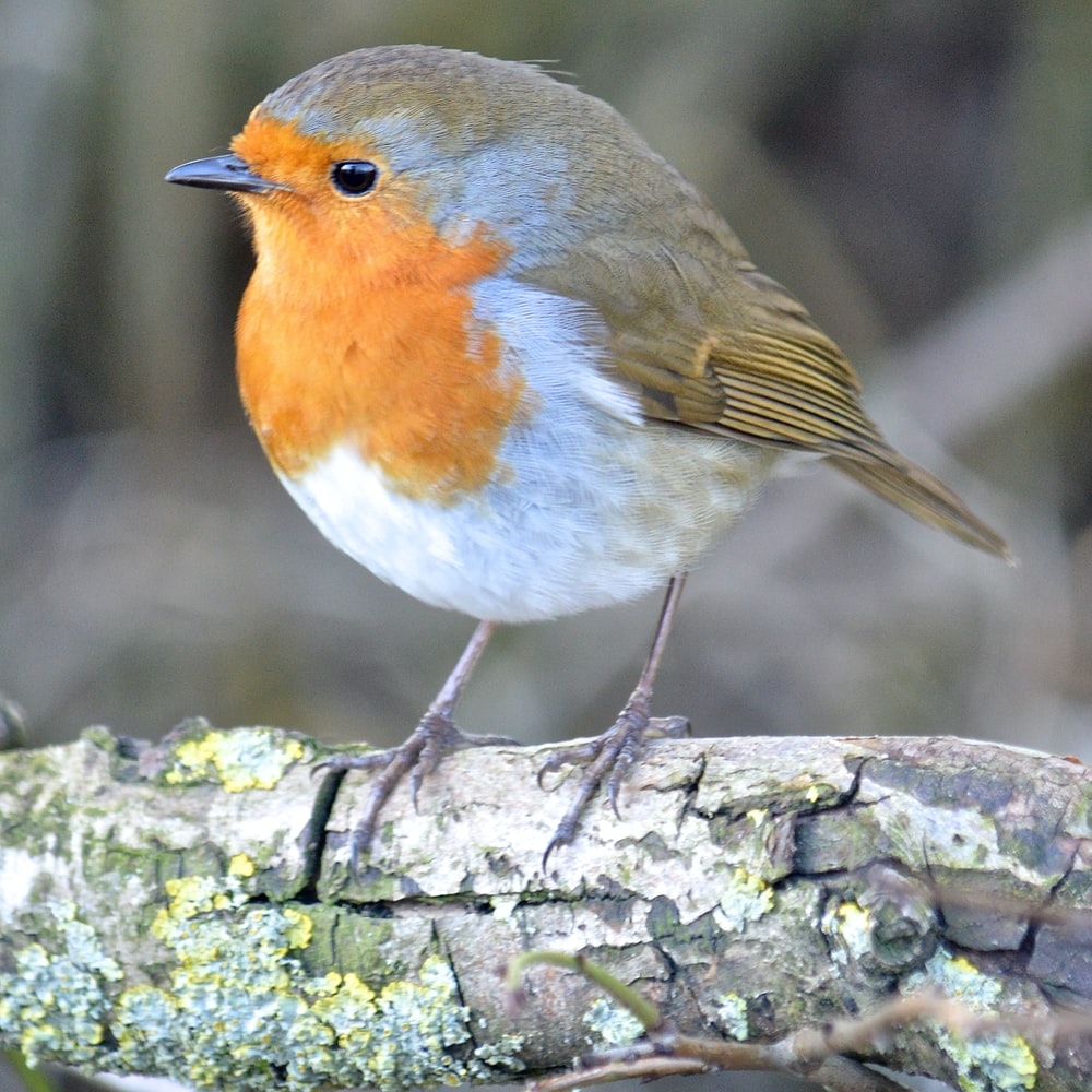 european robin perched on tree branch