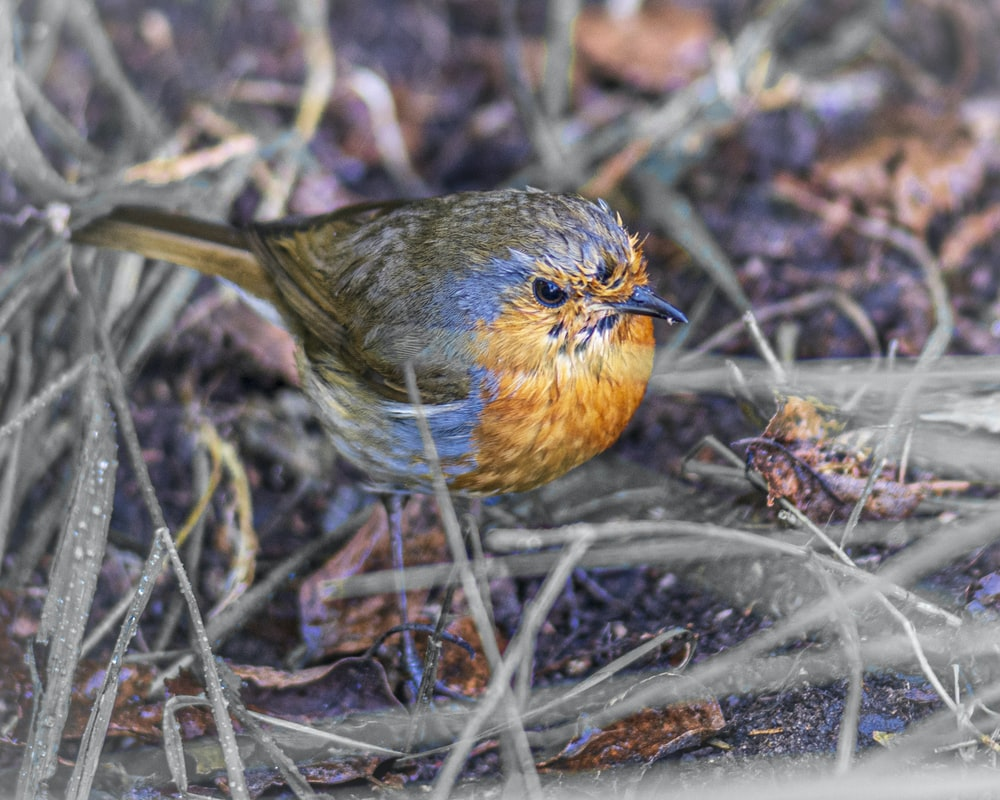 brown and blue bird on brown grass