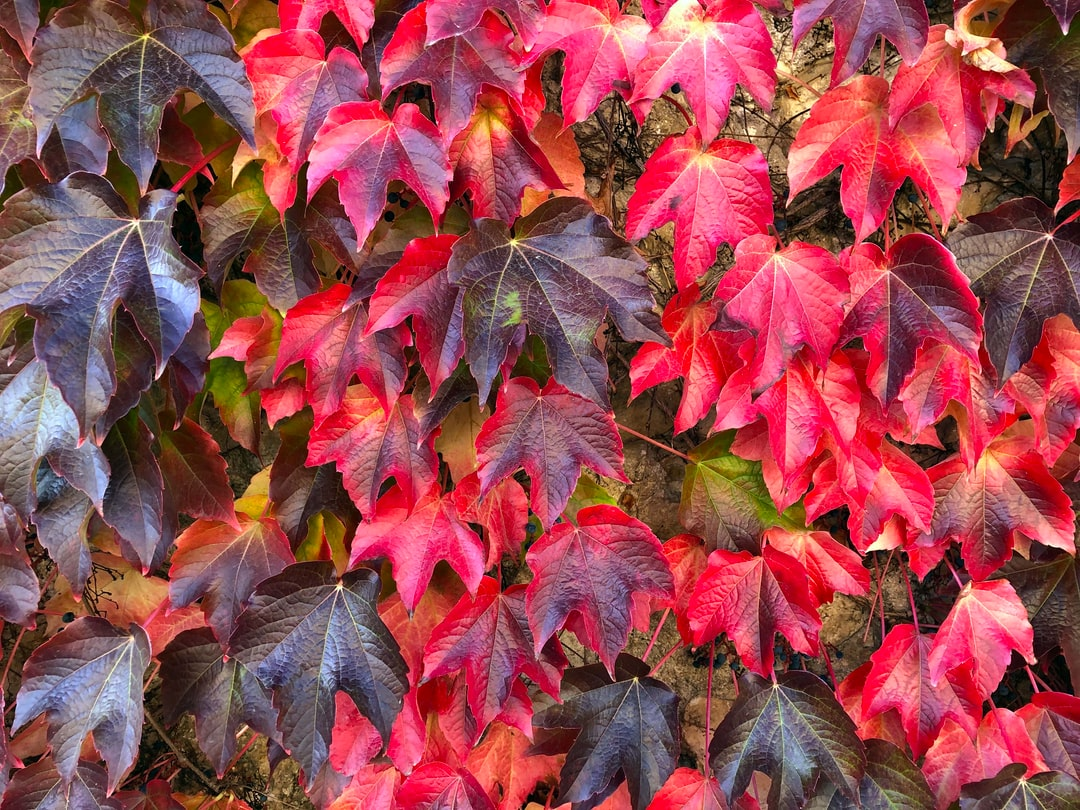 Cascading leaves, foliage, fall colors. Exterior of home garage. Changing colors