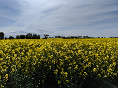 yellow flower field under cloudy sky during daytime