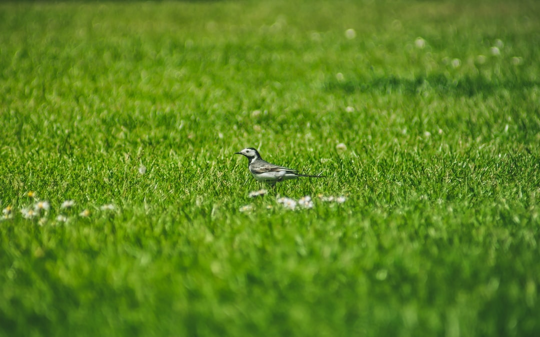 A wee Willie Wagtail (Motacilla alba), also called a Pied Wagtail, hops across a football pitch at Victoria Park (May, 2020).
