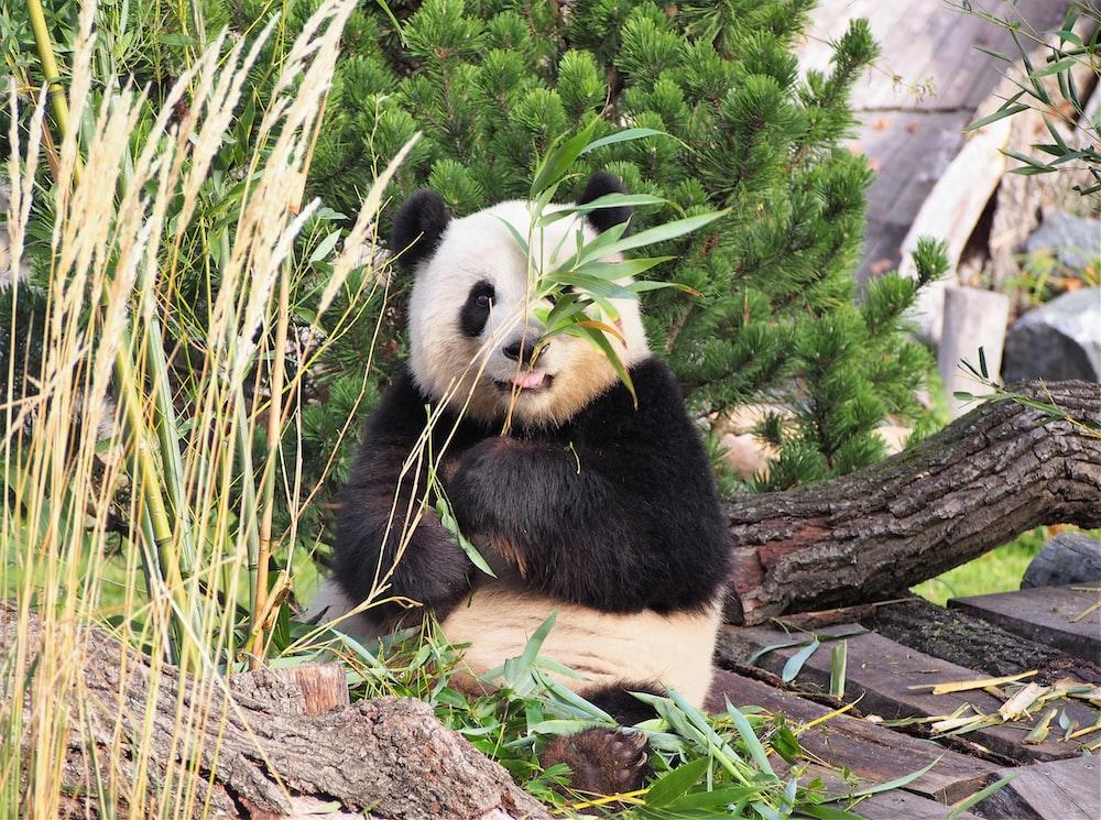 panda on tree branch during daytime