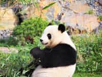 The story of Po, the panda 🐼  cub stories