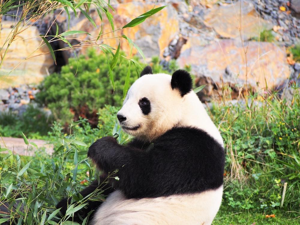 panda on green grass during daytime