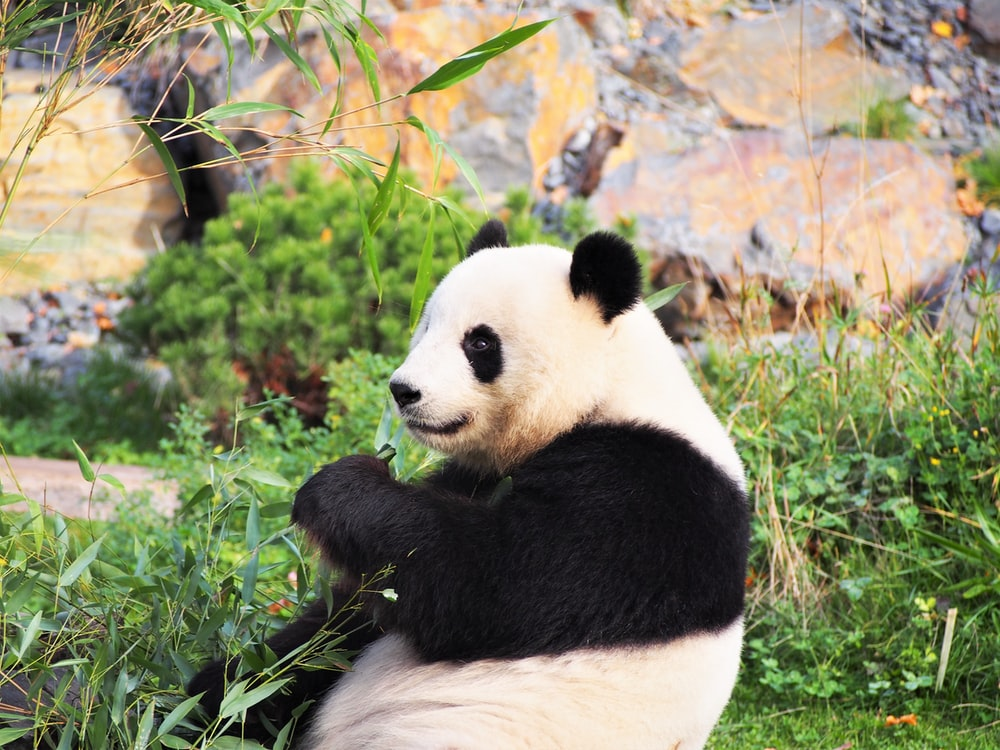 panda on green grass during daytime