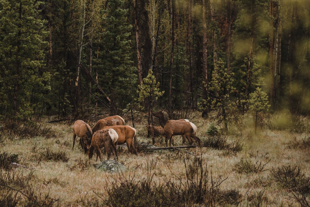 elk in a forest