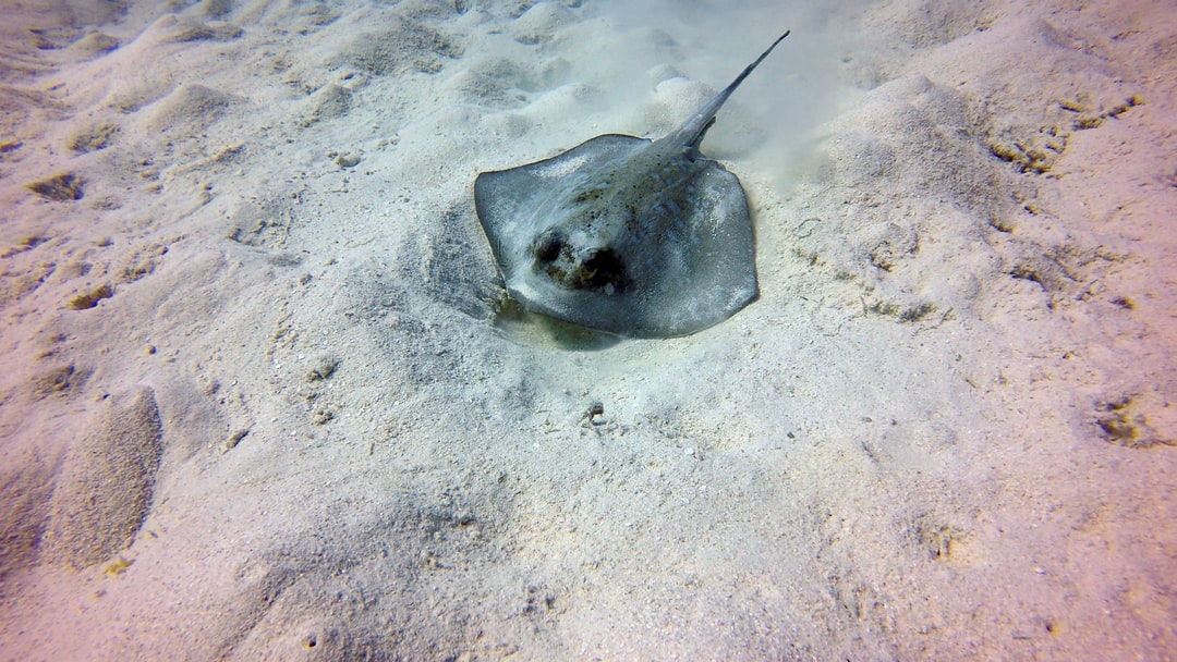 Stingray playing in the sand