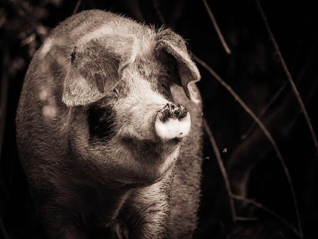 Portrait of a Pig in the New Forest.