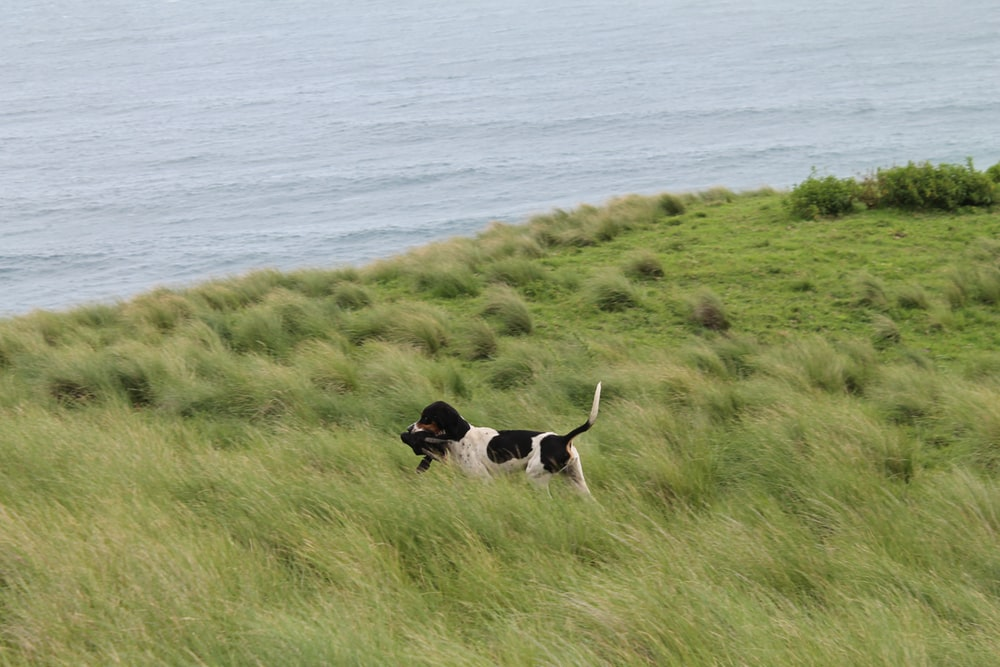 black and white short coated medium sized dog on green grass field during daytime