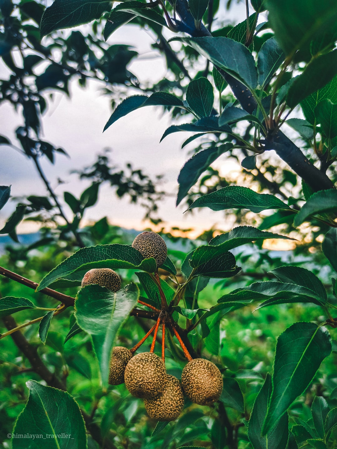 Himalayan Wild Pear known as kainth in Himachal Pradesh.