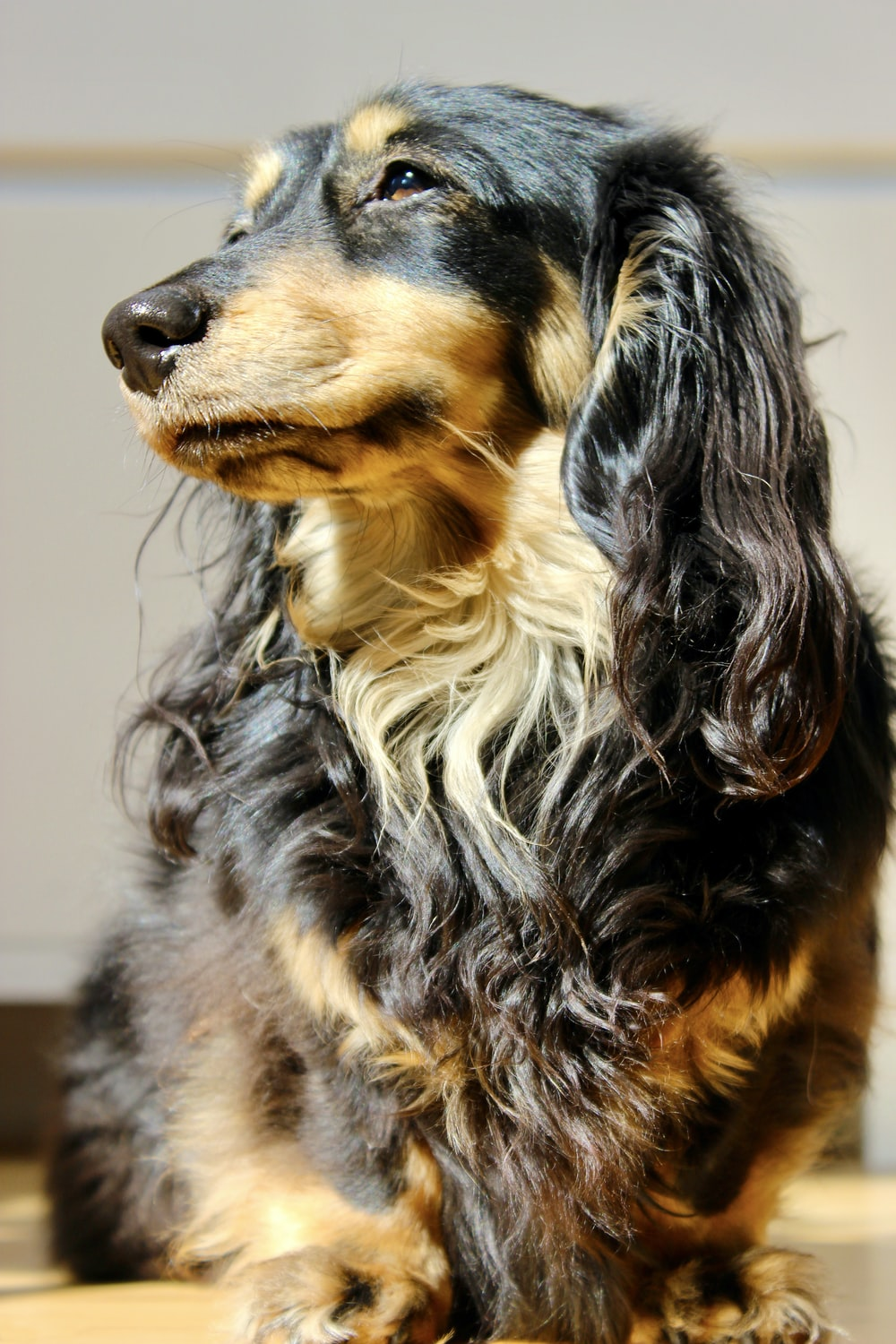 black and brown long coated dog