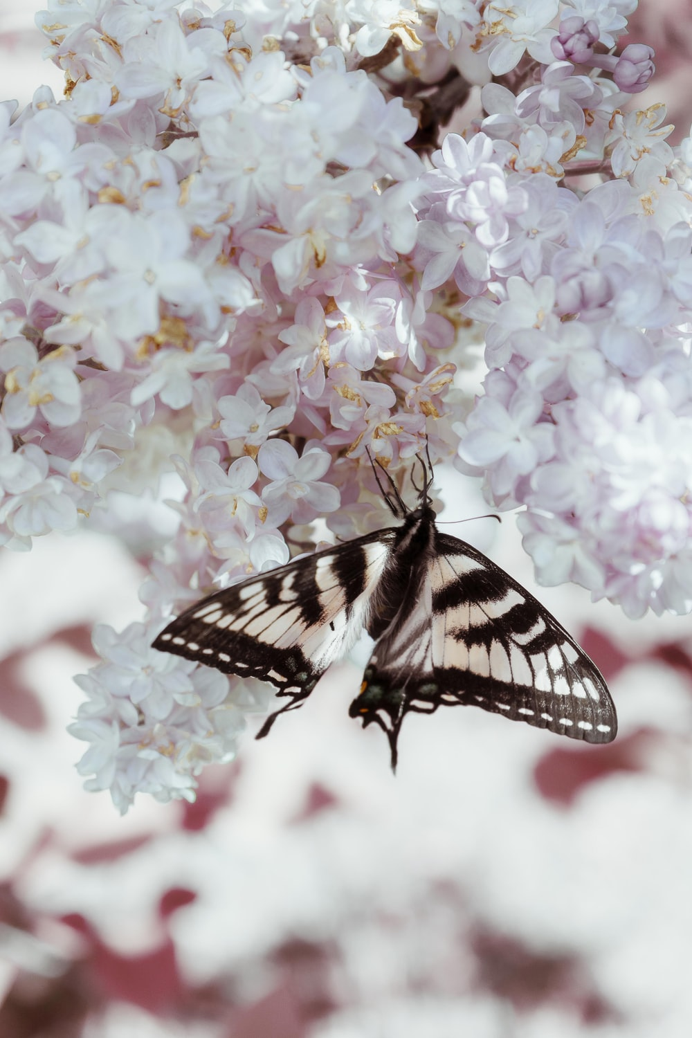 black and white butterfly perched on pink flower
