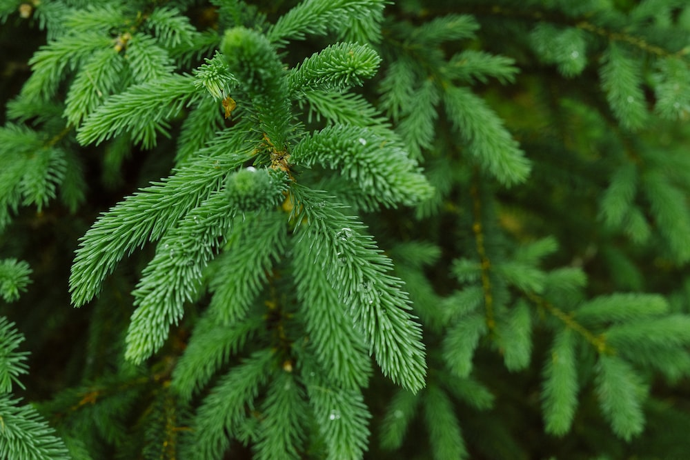 green pine tree with snow