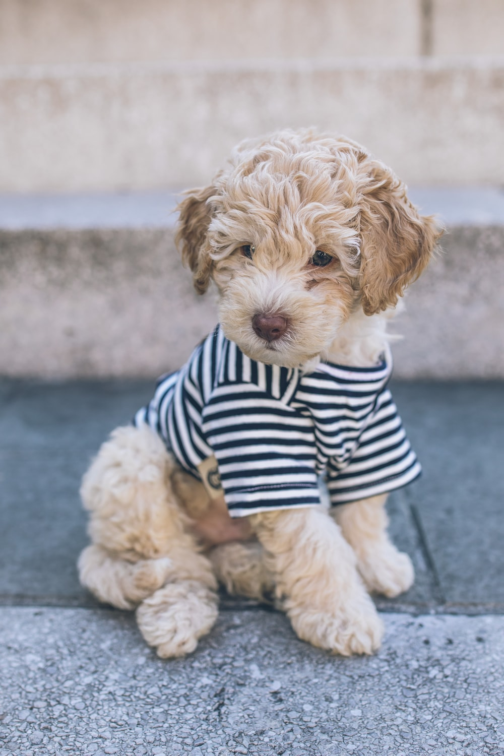 brown long coated small dog in blue and white striped shirt